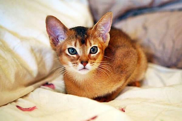 cucciolo di gatto Abissino