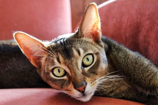 gatto Abissino che riposa sul divano