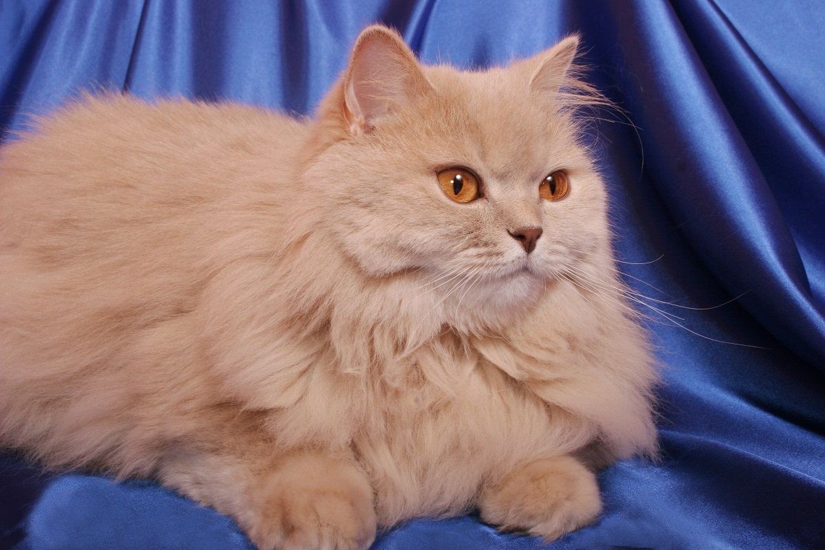 gatto british longhair