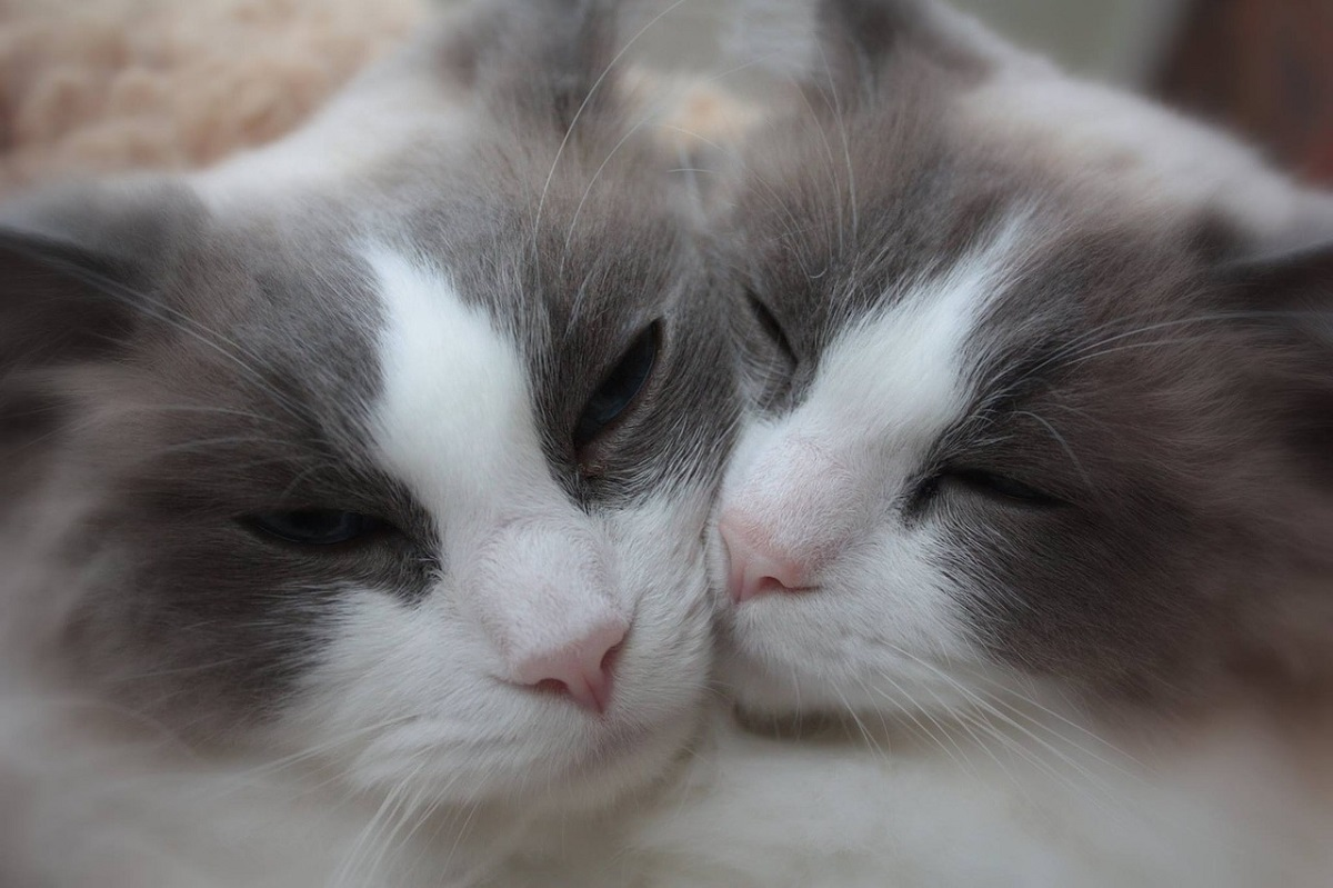 due gatti ragdoll