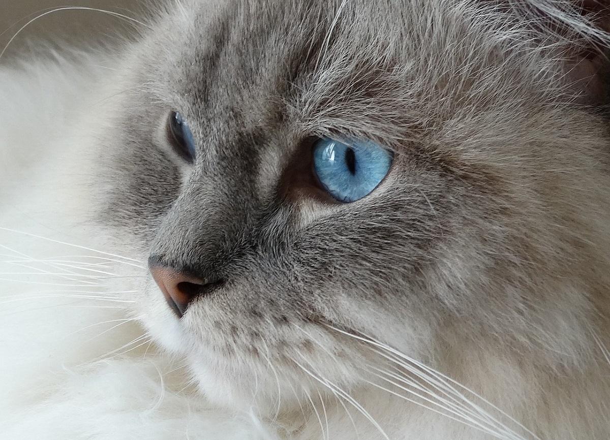 ragdoll occhi blu