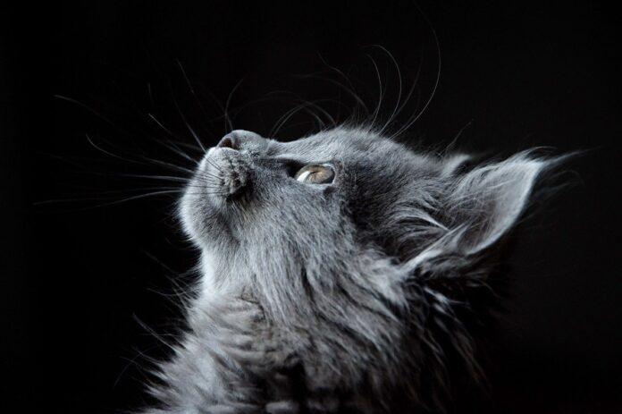 gatto norvegese sfondo nero