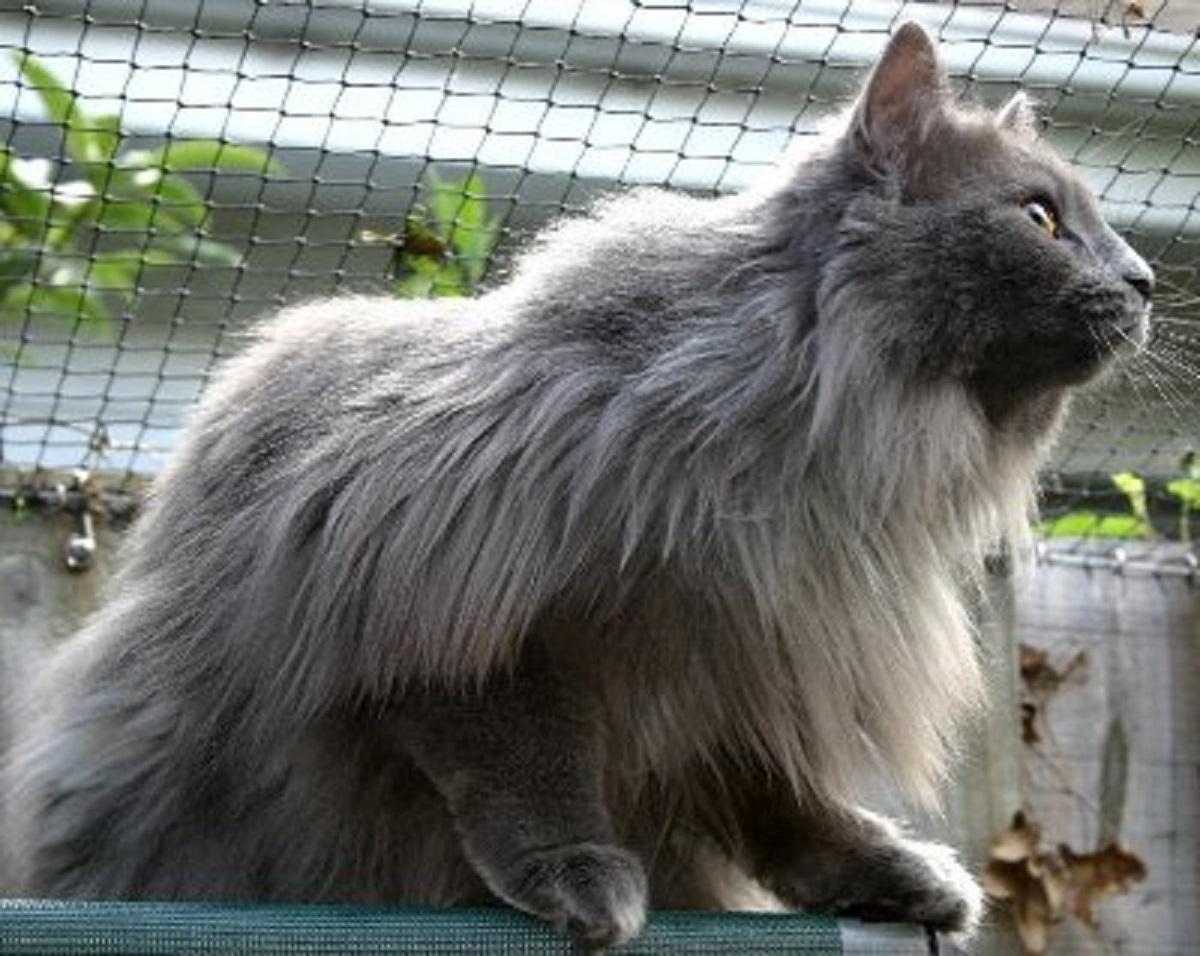 gatto norvegese di profilo