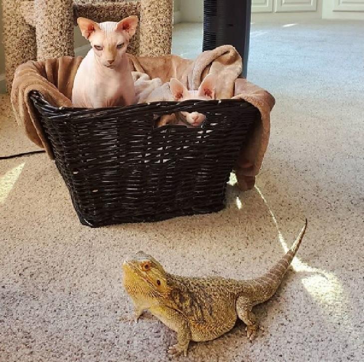 akasha il gatto e valak il drago barbuto