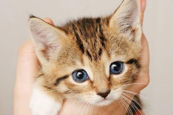gattino con occhi blu