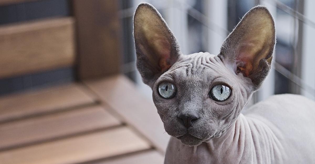 Gatto Sphynx che osserva