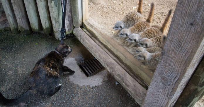 Gatto con suricati