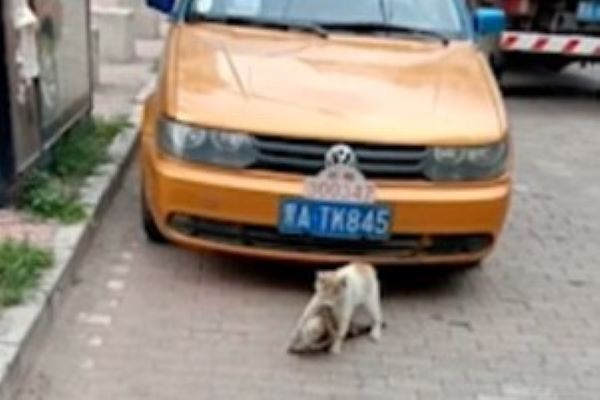 gattino salva amico vittima di un incidente video
