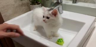 gatto sul lavandino