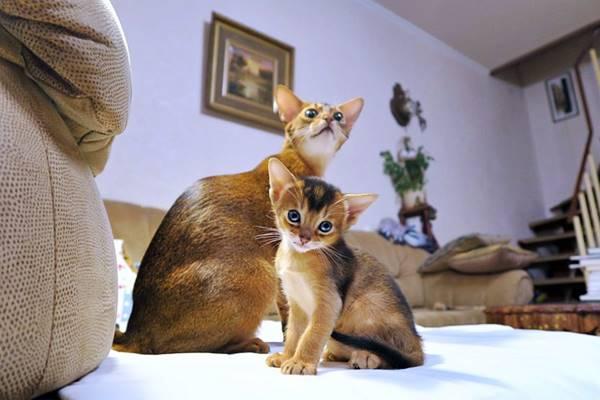 mamma e gattino Abissino