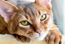 gatto Abissino che riposa