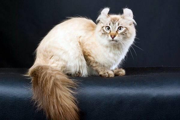 gatto con le orecchie arricciate