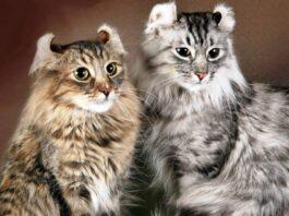 due gatti di razza american curl