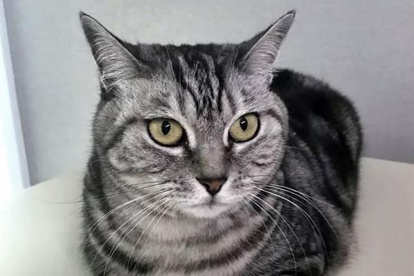 gatto grigio e tigrato