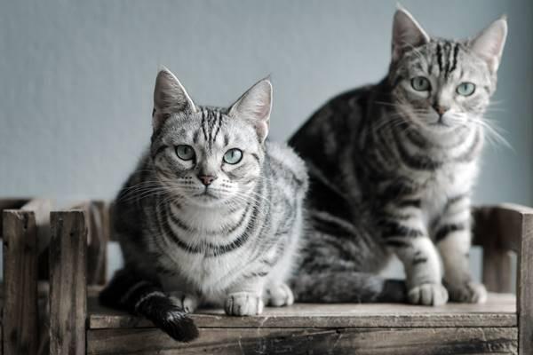 due gatti american shorthair