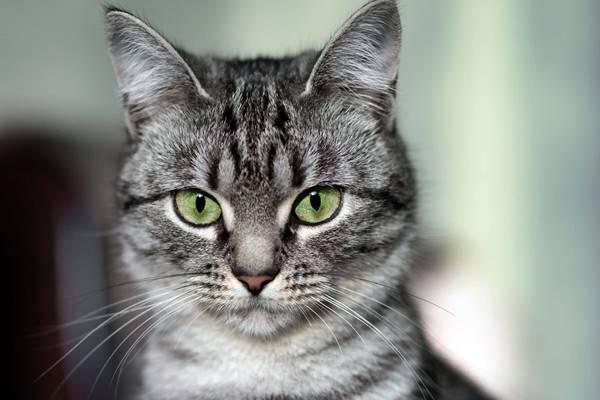 sguardo concentrato del gatto