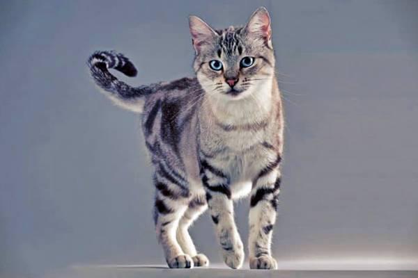 gatto tigrato grigio e bianco