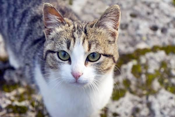 gatto tigrato e bianco