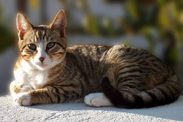 gatto tigrato con il muso bianco