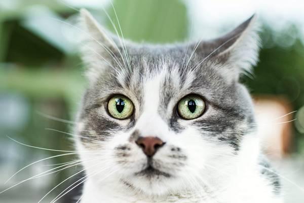 gatto con le orecchie tese all'indietro