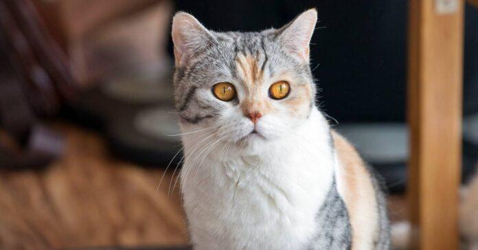 gatto bianco nero e rosso