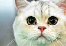 muso tenero del gatto