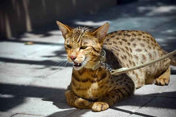 insegnare al gatto a camminare al guinzaglio