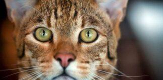 sguardo intenso del gatto