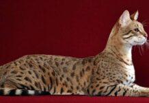 un esemplare di gatto ashera su sfondo rosso