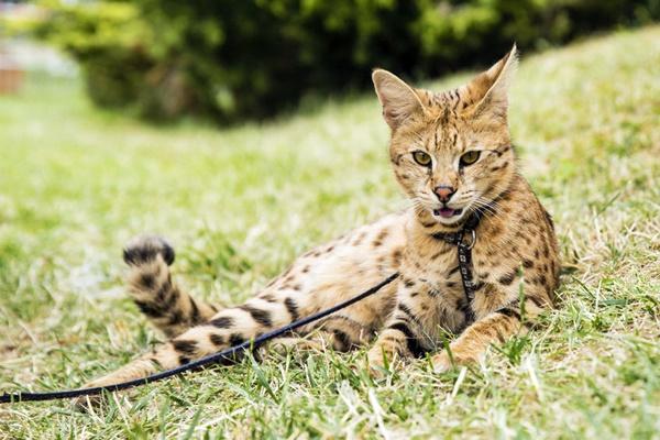 gatto ashera simile al savannah