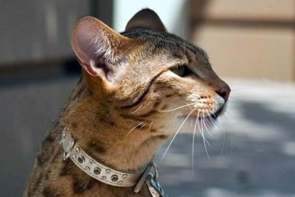 gatto con un collare di strass