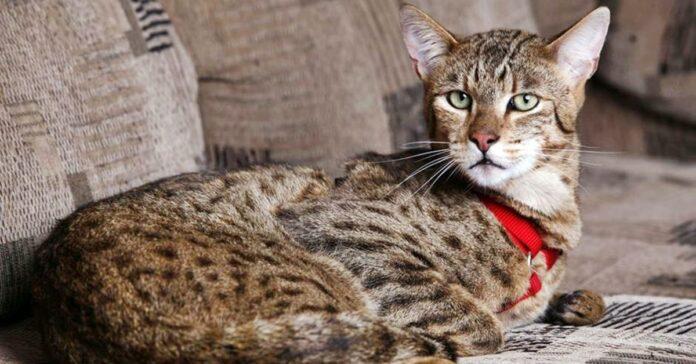 un gatto ashera che riposa sul divano