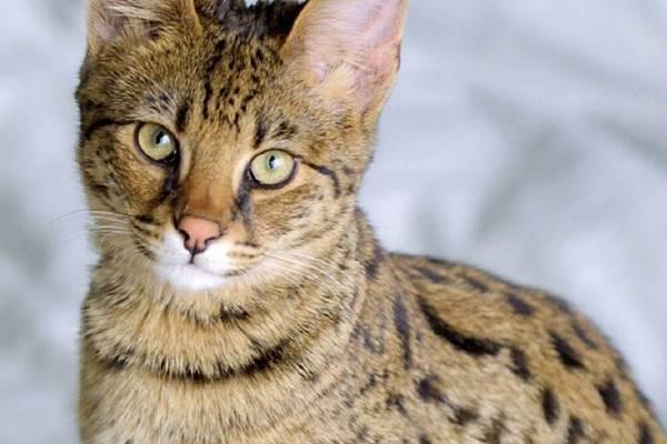 gatto ibrido di razze feline selvatiche