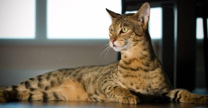 un gatto ashera che vive in casa