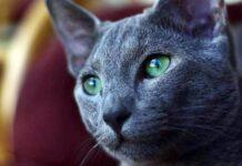 gatto con gli occhi verdi e il pelo grigio
