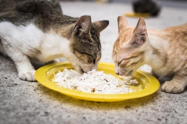due gatti che mangiano