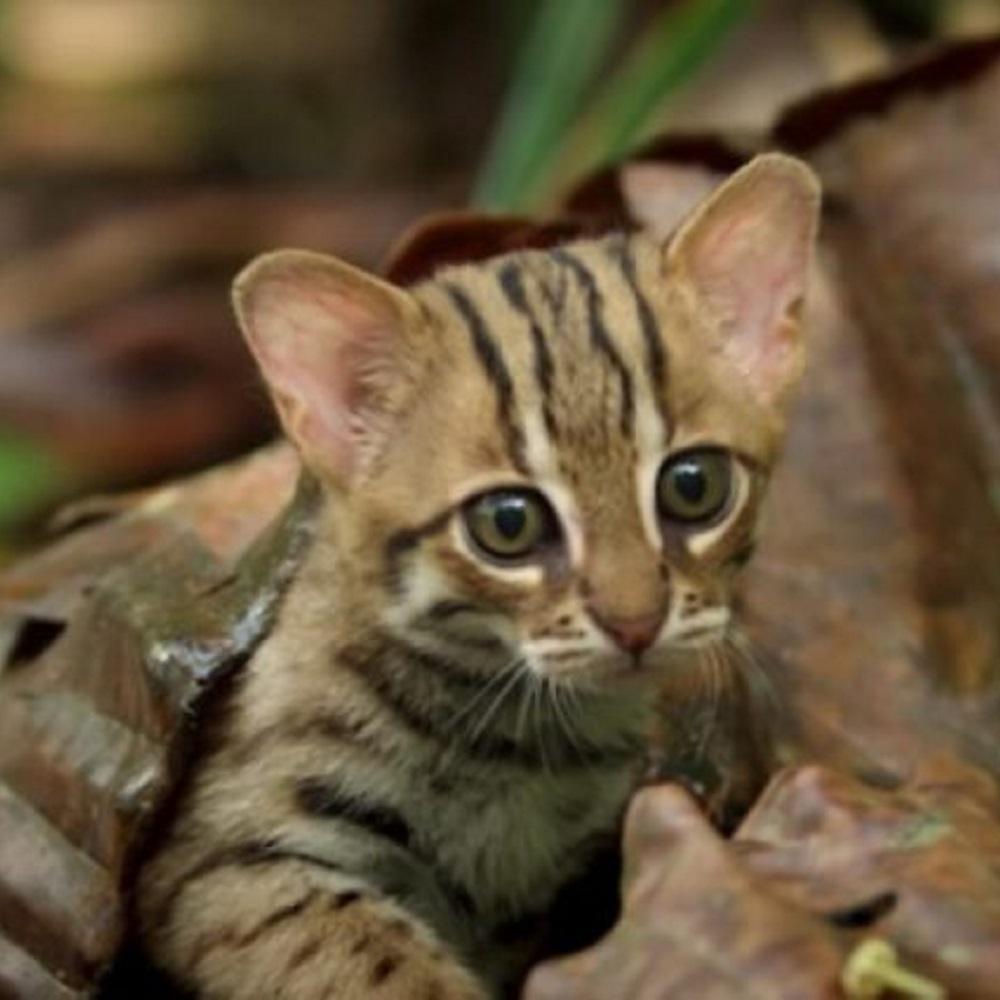 gatti rugginosi specie a rischio in natura