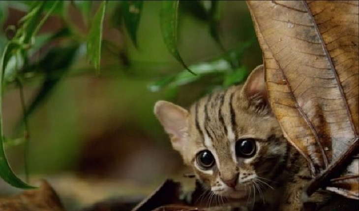 gatti rugginosi specie