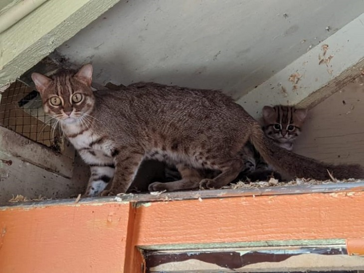 mamma gattini rugginosi protettiva