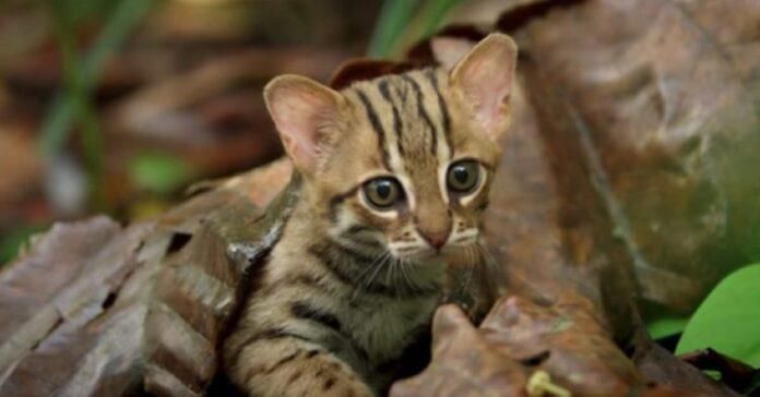 coppia gatti rugginosi nati in cornovaglia