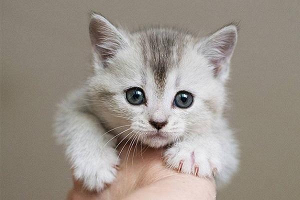 gattino grigio in primo piano