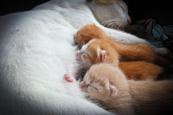 gatta bianca allatta i cuccioli