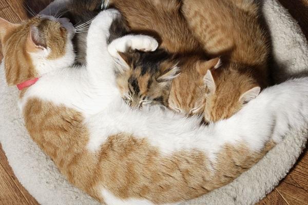 gatta bianca e rossa accoccolata con i suoi cuccioli