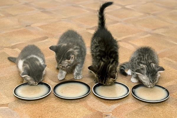 4 gattini mangiano da un piattino