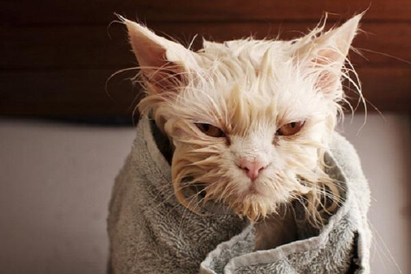 gatto bagnato con asciugamano