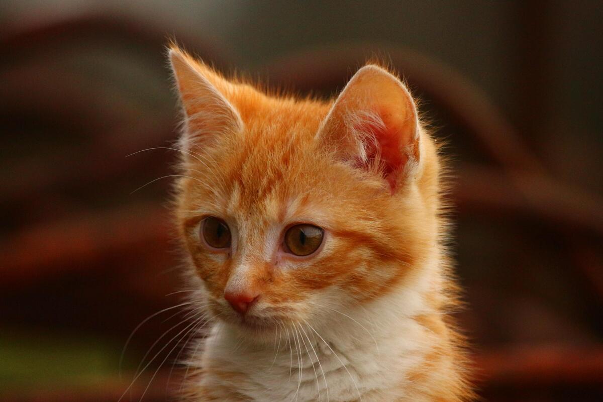 gattino arancione sull'attenti