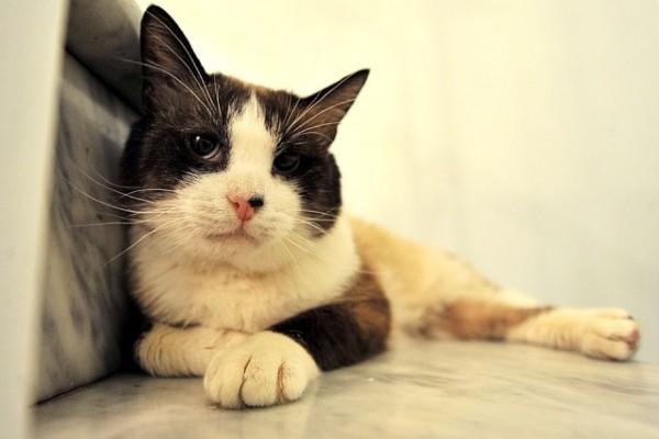 gatto grosso
