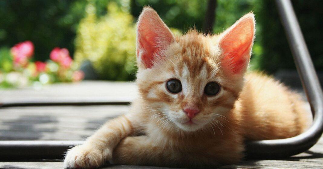 gattino tigrato rosso accucciato