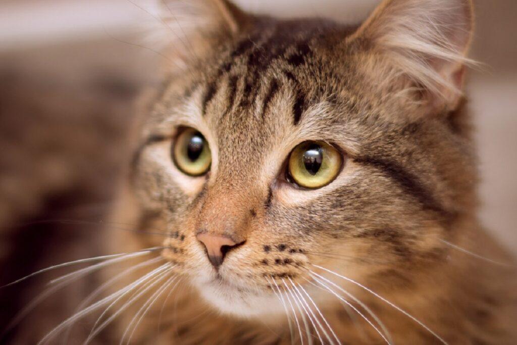 gatto con occhi color ambra