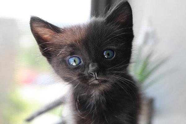 gattino pelo corto